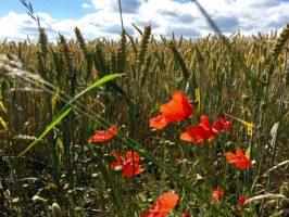 Les coquelicots en bordure de champs