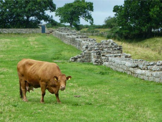 Les vaches sont de la partie sur le mur d'Hadrien !