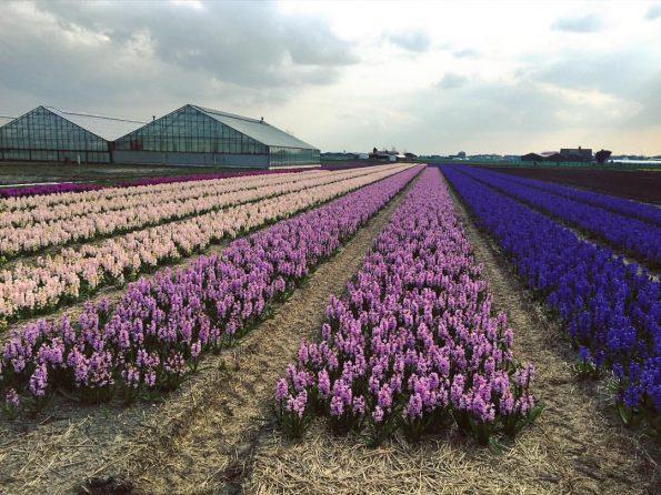 Un champ de jacinthes de diverses couleurs : roses, mauves, violettes, etc.