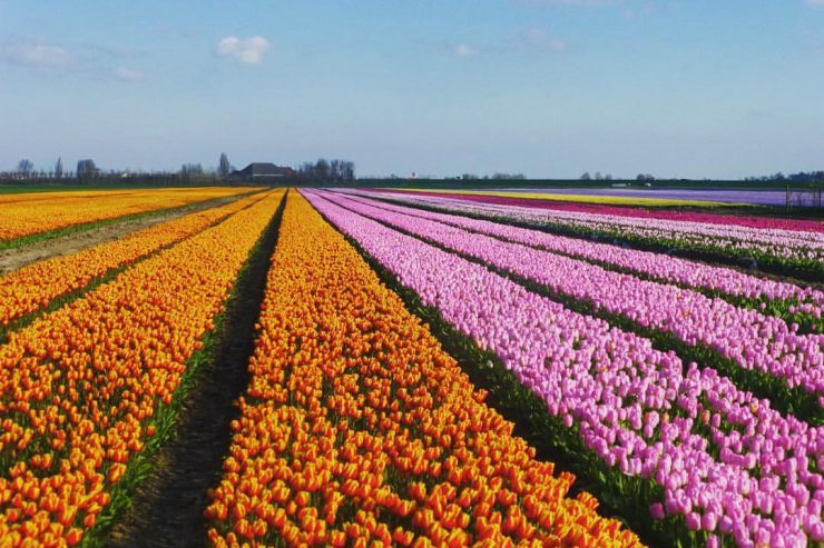 Les champs de tulipes multicolores !