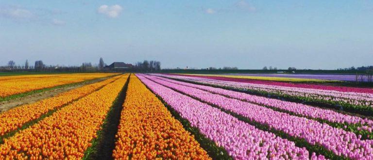 Article : Pays-Bas : une escapade au pays des champs de fleurs