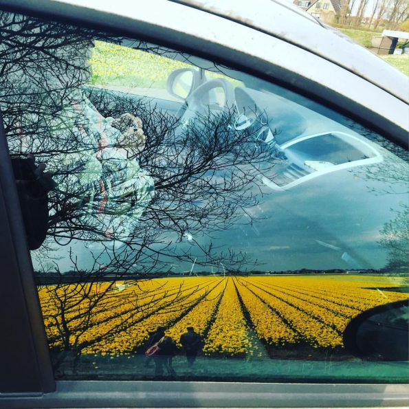 Le reflet d'un champ de tulipes jaunes dans la vitre de la voiture