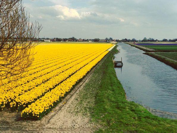 Un paysage divisé en deux entre un champ de tulipes jaunes et un ruisseau