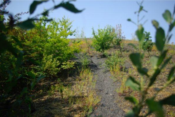 La végétation sur un terril (le sol très noir à noter aussi) ©Clara Delcroix