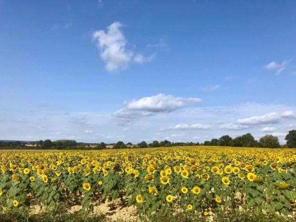 Un champ de tournesols le long de la N7 © Clara Delcroix