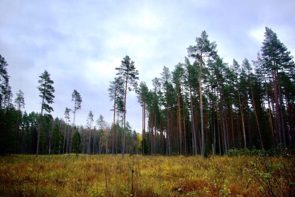 Traverser des forêts de pins avant d'arriver aux marais… © Clara Delcroix